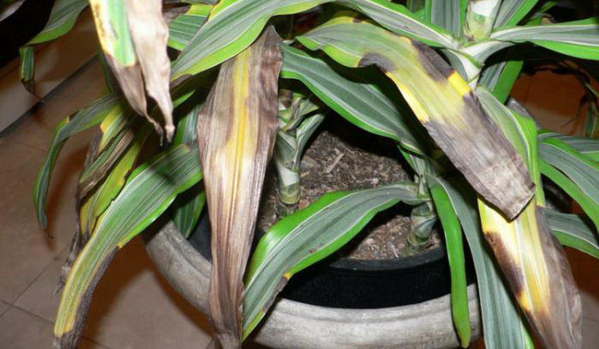 Пятнистое увядание листье