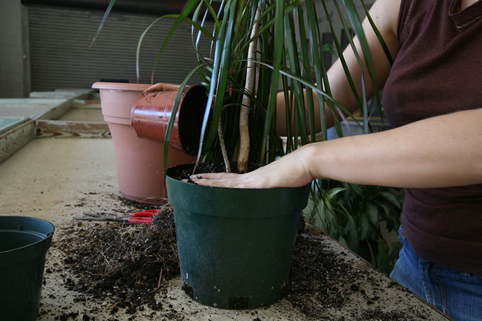 Пересадка растения