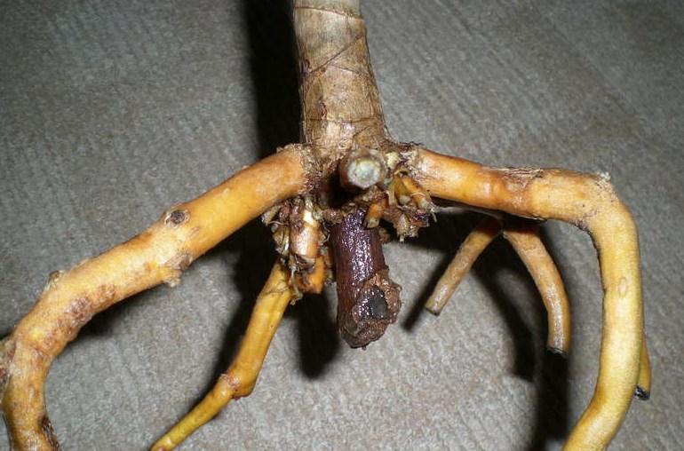 Загнивание корней