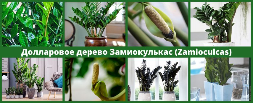 Долларовое дерево Замиокулькас (Zamioculcas)