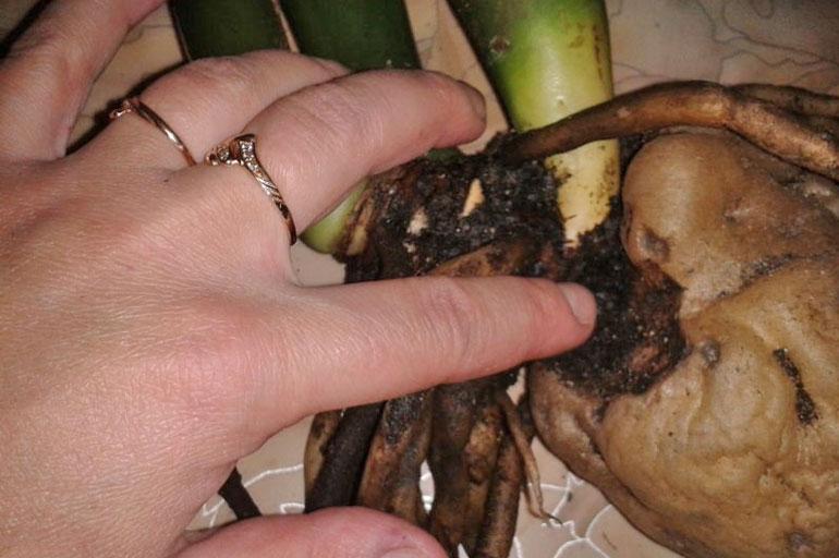 Сгнили корни у замиокулькаса