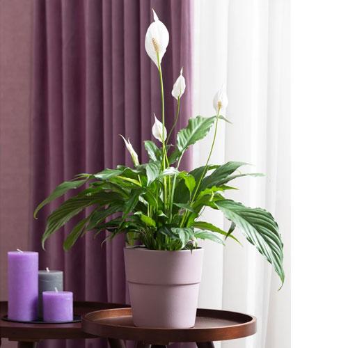 <b>Спатифиллум Алана</b> <p> (Spathiphyllum Alana) <p> Средневысокий гибрид из Голландии: высота куста составляет около 50 см. Положение листьев остаётся практически вертикальным по мере роста. Листовая пластина плотная, глянцевая, насыщенного изумрудного цвета. Покрывало широкое, заострённое, с хорошо заметной зелёной прожилкой с тыльной стороны.