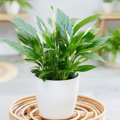 <b>Беллини</b> <p>(Spathiphyllum Bellini) <p> Компактный куст высотою до 40 см. Листовая пластина длиной около 30 см, с гладкой глянцевой поверхностью, волнистыми краями. Початок округлый, укороченный, выступает вперёд, отделяясь от покрывала. Околоцветник удлинённый, узкий, с хорошо выраженным заострённым краем и зелёной прожилкой на внешней стороне.