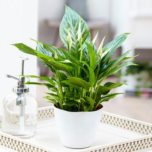 <b>Шопен, или Чопин</b> <p> (Spathiphyllum Chopin) <p> Один из самых эффектных сортов спатифиллума. Куст средней высоты, около 35 см. Листовые пластины интенсивного зелёного цвета, глянцевые, с заострёнными кончиками и хорошо заметным жилкованием. Початок ярко-белый, с зеленоватым оттенком. Прицветник вытянутый, остроконечный, беловато-зелёный. Нежный аромат цветов ощущается всю первую половину дня.