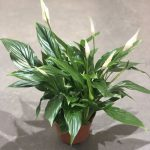 Spathiphyllum Cupido