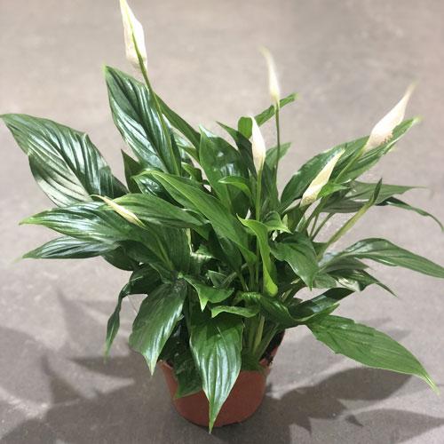 <b>Купидо</b> <p>(Spathiphyllum Cupido) <p> Гибрид из Нидерландов. Компактный куст высотой до полуметра. Листовая пластина ярко-зелёная, глянцевая, средней плотности, с умеренно выраженными жилками. Початок светло-жёлтый. Покрывало чисто-белого цвета, немного выгнуто, заострено на вершине. Главное достоинство Купидо – обильное и долгое цветение.