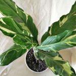 Spathiphyllum Deli