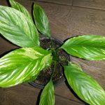 Spathiphyllum Gaiti