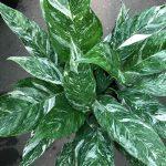 Spathiphyllum Gemini
