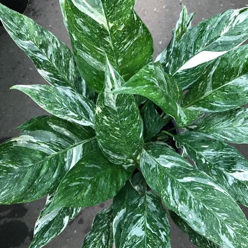 <b>Джемини</b> <p> (Spathiphyllum Gemini) <p> Сорт получен в результате мутации Spathiphyllum Domino. Отличие от материнского вида состоит в менее гладкой поверхности листовых пластин и в более закруглённой форме прицветников. В части размера куста, окраса листьев и покрывала оба сорта идентичны.