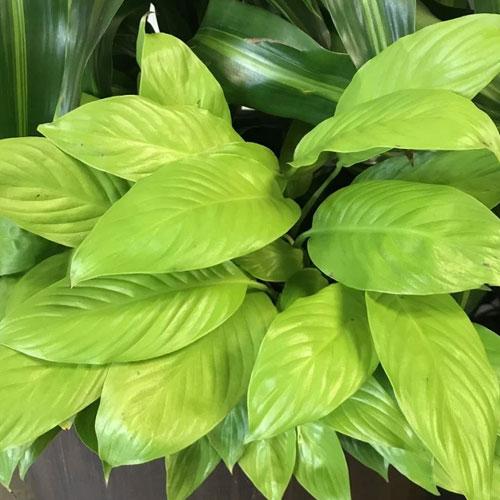 <b>Спатифиллум Лемон Глоу, Сверкающий Лимон</b> <p>(Spathiphyllum Lemon Glow) <p> Компактный гибрид с высотой куста до 40 см. Интересен необычной окраской глянцевых листовых пластин. При ярком освещении это выраженный лимонный цвет, в полной тени листья принимают жёлто-зелёный оттенок. При возвращении растения в привычные условия цвет листовых пластинок снова становится видовым.