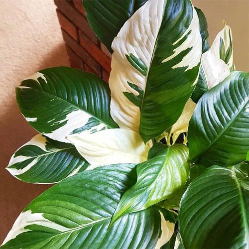 <b>Пикассо</b> <p> (Spathiphyllum Picasso) <p> Особенность этого сорта — яркие белые полосы на листьях, контрастирующие с их основной тёмно-зелёной окраской. Некоторые листовые пластины могут быть почти белыми. Вариегатность распространяется и на околоцветник. Кусты Пикассо быстро и легко размножаются.