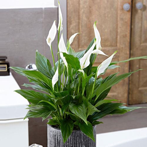 <b>Спатифиллум Кватро</b> <p>(Spathiphyllum Quatro)<p> Культивар, полученный гибридизацией Spathiphyllum Wallisii. Компактное растение с высотой куста до 30 см и овальными листовыми пластинами. Цветение долгое, сопровождается ароматом.