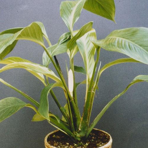 <b>Спатифиллум Шлехтера</b> <p>(Spathiphyllum Schlechteri) <p> Синонимичное название — Холохламис Шлехтера (Holochlamys Schlechteri). Ареал произрастания растения — Новая Гвинея и архипелаг Бисмарка. Вид не входит ни в одну из секций спатифиллумов, хотя внешне напоминает представителей рода Spathiphyllum овальными или ланцетовидными листовыми пластинами и строением соцветия — початком с обвивающим его покрывалом.