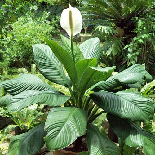 <b>Сенсация</b> <p> (Spathiphyllum Sensation) <p> Голландский гибрид Сенсейшн — самый известный, популярный и эффектный гигант: размеры куста взрослого растения достигают 1,5 м в высоту и 2 м в ширину. Листовая пластина длиной до 60 см и шириной до 30 см, с хорошо выраженной ребристостью. Длинный цветонос увенчан крупным белым покрывалом, обрамляющим светло-жёлтый початок.