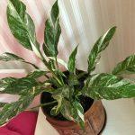 Spathiphyllum Silver Rain