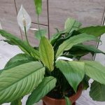 Spathiphyllum Spilt Milk narrow leave clone