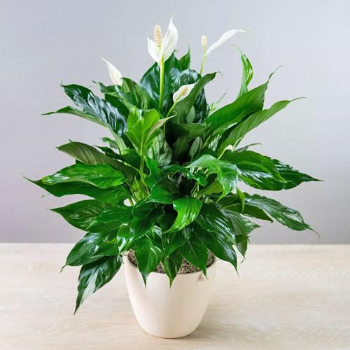 <b>Штраус</b> <p>(Spathiphyllum Strauss) <p> Малыш из Нидерландов едва достигает 30 см в высоту. Листовая пластина заострённая, с матовой поверхностью. Цветок белого цвета с зеленоватой прожилкой на внешней стороне.
