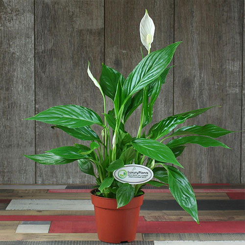 <b>Свит Чико</b> <p>(Spathiphyllum Sweet Chiko) <p> Высокорослый гибрид серии Sweet достигает 85 см. Листовые пластины овальные, с гладкой поверхностью, интенсивного зелёного цвета. Цветоносы появляются дважды в год. Покрывало в форме паруса чисто-белого тона.