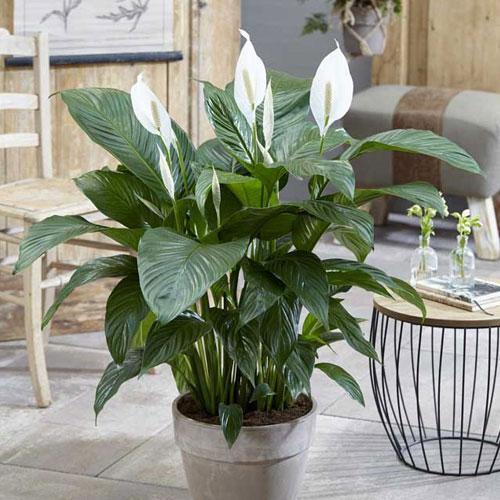 <b>Свит Лауретта</b> <p> (Spathiphyllum Sweet Lauretta) <p> Как и другие гибриды линии, растение высокорослое и пышное: высота куста достигает 80 см, в ширину Свит Лауретта разрастается до 85 см. Листья овально-продолговатой формы, ярко-зелёные, с хорошо заметными более светлыми прожилками. Соцветие крупное, нежно-кремового или сливочно-белого цвета.