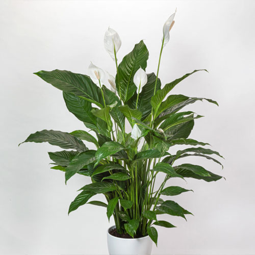 <b>Себастьян</b> <p>(Spathiphyllum Sweet Sebastiano) <p> Гибрид выведен на основе Spathiphyllum Wallisii. Вырастает до 130 см. Лист глянцевый, ярко-зелёный, с выраженными прожилками. Соцветия белые, крупных размеров.