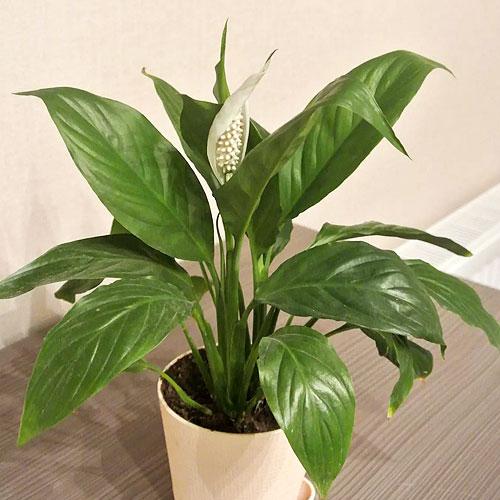 <b>Свит Сильвио</b> <p>(Spathiphyllum Sweet Silvio) <p> Гибрид относится к серии Sweet, для представителей которой характерны хороший темп роста и обильное цветение. Взрослое растение высокорослое, достигает 75 см. Листовая пластина насыщенного зелёного тона, гладкая, с волнистыми краями, до 30 см в длину.