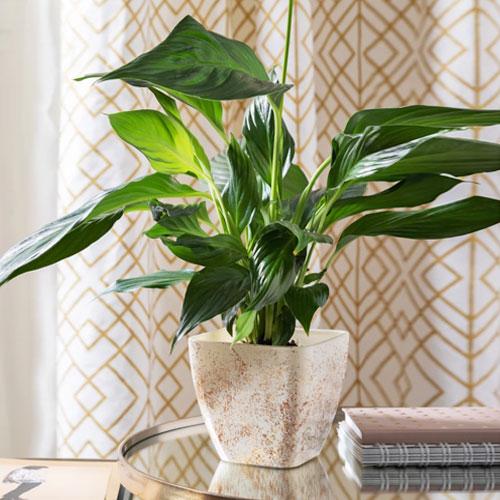 <b>Вивальди</b> <p> (Spathiphyllum Vivaldi) <p> Сорт среднерослый: высота куста около 50 см. Листовые пластины насыщенного тёмно-зелёного цвета имеют овальную форму. На листе хорошо заметна центральная прожилка. Початок цилиндрической формы бело-кремового оттенка. Околоцветник средних размеров, белого цвета с внутренней стороны, зелёный — с наружной.