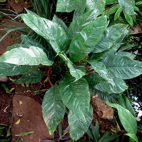 <b>Спатифиллум каннолистный Сильвер Даст, или Серебряная пыль</b> <p>(Spathiphyllum cannifolium Silver Dust) <p> Неприхотливый сорт, резистентный к сухому воздуху. Высота взрослого растения около 70 см. Характерная особенность поверхности листовой пластины — вариегатность, выраженная хаотичными мелкими белыми штрихами.