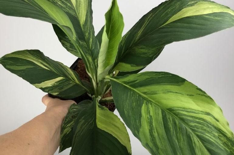 Spathiphyllum cochlearispathum Sunny Sails