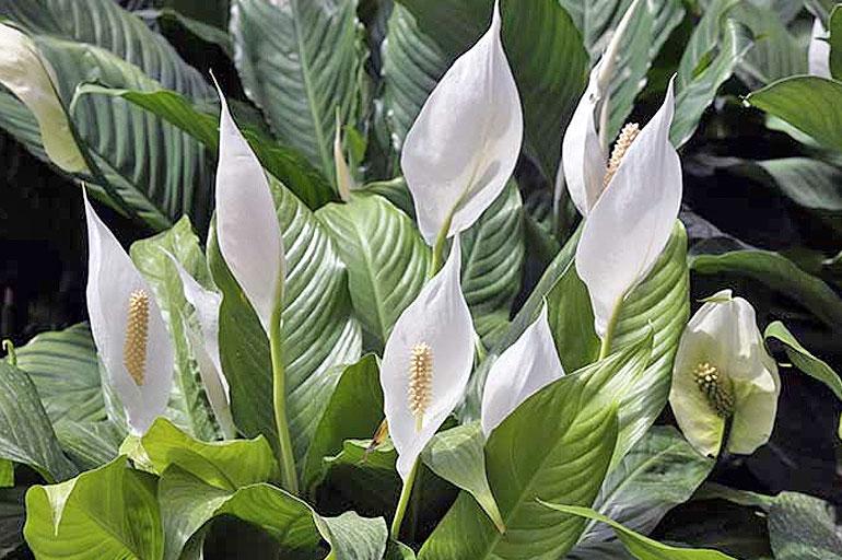 Spathiphyllum cochlearispathum
