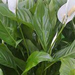Spathiphyllum floribundum