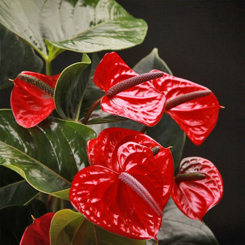 <p><b>Дарк ред</b> <p> У растения початок нежно-лилового оттенка окружён покрывалом глубокого тёмно-красного тона.