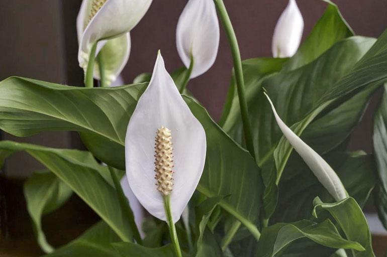 Цветение спатифиллума