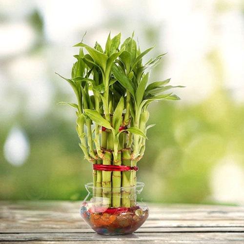 <p><b>Сандера</b><p> Сандера – низкорослый сорт (до 1,5 м). Листья драцены тонкие, зеленые, покрыты белыми полосами и имеют характерную изогнутую форму. Это популярный домашний цветок, который может украсить любой интерьер.