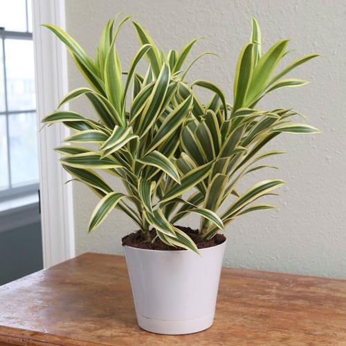 <p><b>Деремская</b><p> Растение достигает 3 м в высоту. Узкие, но длинные листья окрашены в насыщенный темно-зеленый цвет. Цветки мелкие и красные, но обладают не слишком приятным запахом.