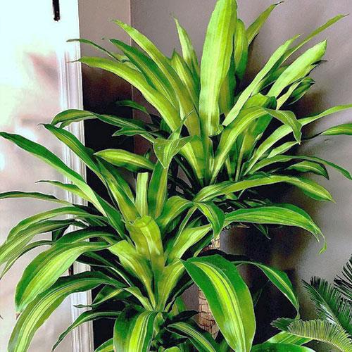 <p><b>Душистая</b><p> Этот сорт вырастает до 6 м. Элегантное растение с длинными вечнозелеными листьями хорошо дополняет минималистичный интерьер. В домашних условиях этот сорт цветет редко и только при правильном, постоянном уходе. Цветки мелкие, белые, иногда с желтым оттенком, обладают приятным ароматом.