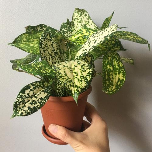 <p><b>Годсефа</b><p> Этот необычный сорт выделяется крупными листьями овальной формы. Они расположены вокруг ствола и сгруппированы по 3-5 шт.