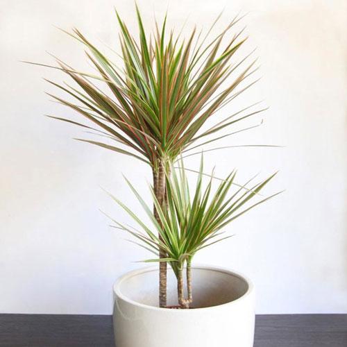 <p><b>Маргината</b><p> Маргината – африканская драцена с крупным деревянистым главным стволом, на верхушке которого в пучок собраны узкие, длинные листья с острыми кончиками. Взрослое растение достигает 3 м в высоту.