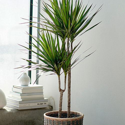 <p><b>Маргината</b><p> Драцена окаймленная (Маргината) – самая популярная разновидность. Она больше всех похожа на пальму, при хорошем уходе достигает больших размеров (до 2 м и выше). Узкие изогнутые листья окрашены в темно-зеленый цвет. По краю листовой пластины идет красная или бордовая разделительная полоса, реже желтая.