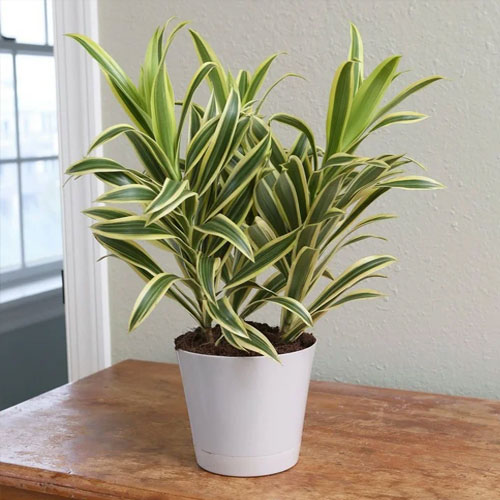<p><b>Отогнутая</b><p> Драцена отогнутая (или закривленная) – это дерево с ланцетовидными кожистыми листьями, наклоненными вниз. В природе достигает 6-метровой высоты. При выращивании в домашних условиях верхушку часто прищипывают, чтобы получить пышный кустик. Пестролистные сорта имеют желтовато-зеленые или кремовые полосы по краю листовой пластины.