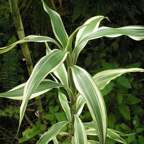 <p><b>Сандериана</b><p> Драцена Сандериана, или Сандера, – невысокий кустарник (до 1 м). Ветви растут от основания почти вертикально. Листья ярко-зеленые, с волнистыми краями и серебристыми полосками. Побеги с перетяжками на стволе похожи на бамбук, поэтому Сандеру часто называют «счастливый бамбук» или «бамбук удачи».