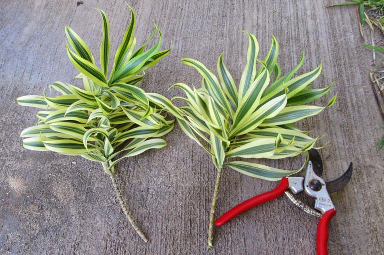 Обрезка драцены садовыми ножницами