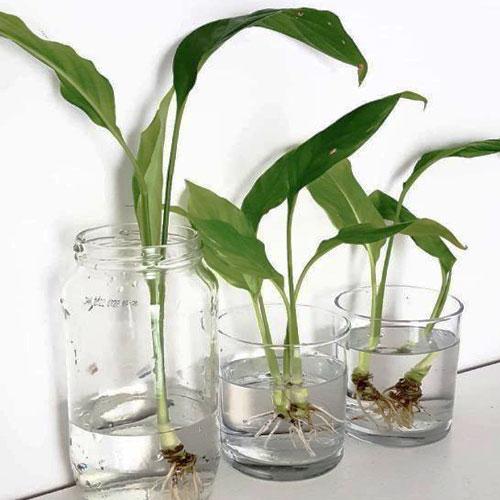 Проращивание черенков спатифиллума