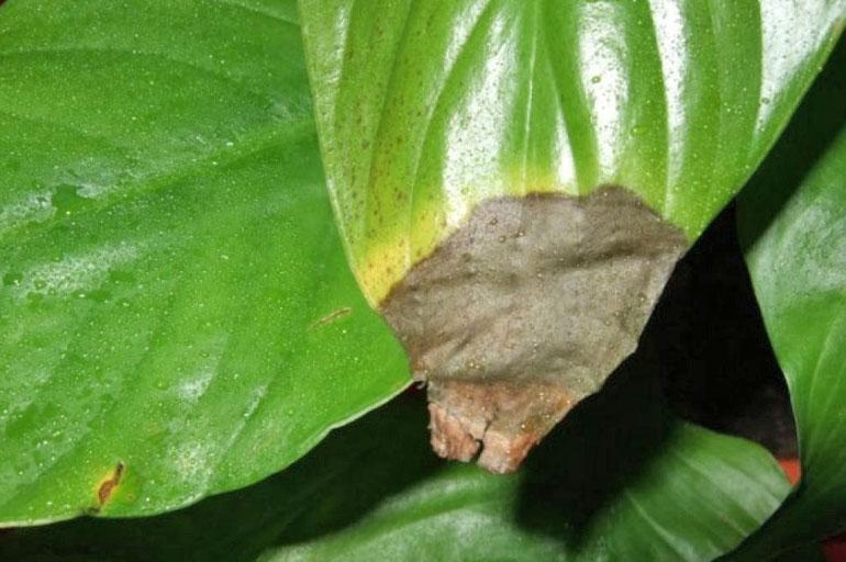 Сохнут кончики листьев у спатифиллума