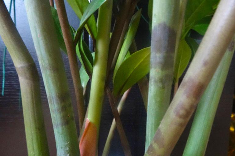 Темные пятна на стеблях замиокулькаса