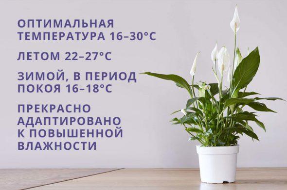 Температура и влажность для спатифиллума