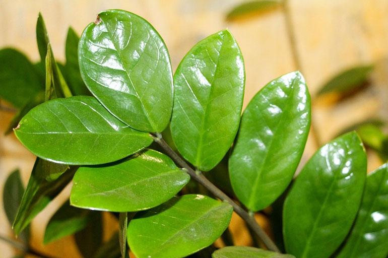 Замиокулькас ланцетовидный <p> Имеет удлиненные листья, по форме напоминающие ланцет.