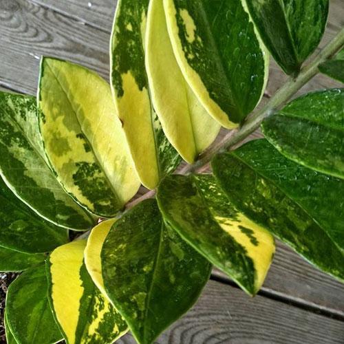 Замиокулькас вариегатный, или пестролистный <p> Имеет окраску листьев, в которой чередуются светлые и темные оттенки.
