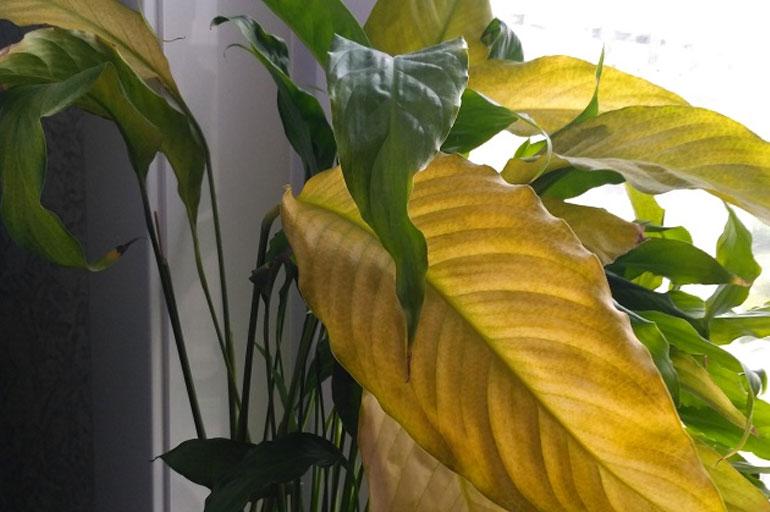 Желтеют листья у спатифиллума