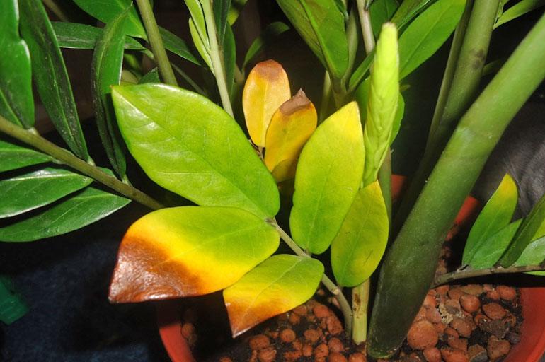Желтые листья у замиокулькаса